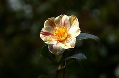 A bright bloom (SteveJM2009) Tags: uk light sun flower colour detail woodland spring focus dof dorset bloom april camellia stevemaskell kingstonlacy 2016
