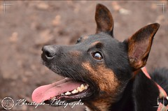 Pincscher-nain-Minpin (JChristophePhotography) Tags: dog chien little minpin pinscher deutsch allemand nain littlepincher deutschdog chienallemand