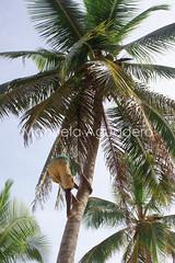 #palmera #palmtree #cocotero  #coco #coconut #2010 #repblicadominaca #caribe #caribean #marcaribe #naturaleza #nature #turismo #tourism #photography #photographer #sonyalpha #sonyalpha350 #sonya350 #alpha350 (Manuela Aguadero) Tags: naturaleza tourism nature photography photographer coconut coco palmtree turismo palmera marcaribe caribe caribean repblicadominicana cocotero sonyalpha sonyalpha350 sonya350 alpha350