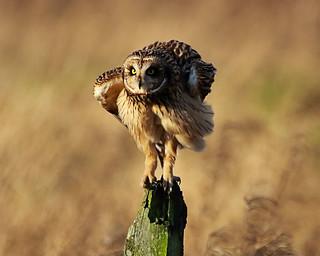 Ruffled feathers (Explored)