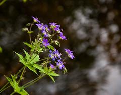 ,  (akk_rus) Tags: flowers summer flower nature season nikon europe russia nikkor      moscowregion d80 18135mm   nikond80 18135mmf3556g afsnikkor18135mm13556ged