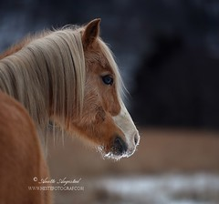 Kylie (Hestefotograf.com) Tags: winter horses horse snow love oslo norway caballo bokeh pony camouflage cavalos ponies forever pferde dappled cavalo pferd whitehorse equine equus paard horseandgirl equinephotography equinephotographer hestefotograf