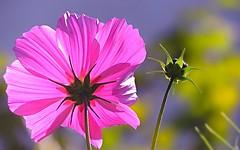 happy new week (sabrina. G) Tags: focus sommer makro garten sommergrtchen lichtt