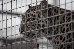Amur Leopard - Panthera pardus orientalis (Chris Martin Photography) Tags: cat trust survival
