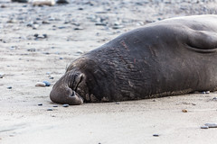 Elephant Seal at Ano Nuevo State Park-7969 ( / Jiayin Ma) Tags: california park elephant beach water 1 sand state wave route seal ao ano nuevo seaocean