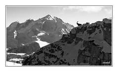 Roi de la crte (iandub74) Tags: bw white mountain black alps montagne alpes nikon altitude montblanc cime faune bouquetin duby d90 bargy sousdine iandub iandub74