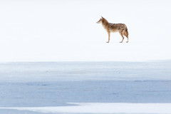 Coyote on the Ice (mhawkins) Tags: coyote lakewood belmar kountzelake