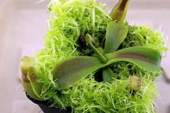 Nepenthes (spathulata x maxima 'Speckled') x (lowii x boschiana) (andy.denker) Tags: nepenthes maxima carnivoren kannenpflanze spathulata lowii boschiana