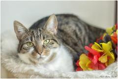 Penny (Elanor82) Tags: flowers portrait cat canon germany deutschland eos 50mm focus soft flag indoor katze bremen fiori 18 gatto ritratto kurzhaar getigert macka tigrato europaeische 700d