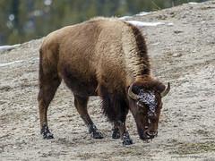 Yellowstone bison (Pattys-photos) Tags: park oldfaithful yellowstone bison