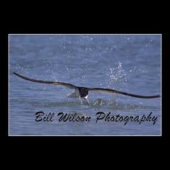 Black Skimmer (wildlifephotonj) Tags: bird nature birds wildlife beachbirds skimmer naturephotography shorebirds blackskimmer skimmers naturephotos wildlifephotography wildlifephotos blackskimmers natureprints
