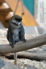 Petit singe (neku.chou) Tags: wild saint animal animals alpes zoo la nikon martin lyon animaux primate mignon singe rhone plaine sauvage neku captivit valkai d5200 animalphotographie valkaio nekuvalkaio captivir