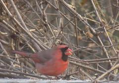 00blogpicDSCN2002 (CarverS2) Tags: bird cardinal