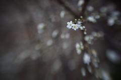 (juli_ei) Tags: winter lensbaby canon ast blossom pflanze blte baum 6d zweig eos6d sweet50
