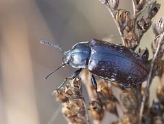 Lepispilus sulcicollis (Dunderoz) Tags: tasmania coleoptera tenebrionidae polyphaga squeakingpoint lepispilussulcicollis