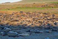 Sea of Elephant Seals (kikapookid) Tags: california usa elephant mammal location seal animalia hwy1 2016 arroyolaguna sanluisobispoco