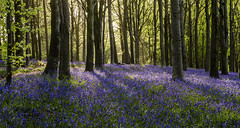 Delcombe in Spring (Nick L) Tags: trees shadow sun plant bluebells forest canon eos woods outdoor dorset serene 2470l sunbeams blandford 2470 canon2470l bulbarrowhill eos5d3 delcombewoods 5d3 delcombe canon5d3 canon2470li 2470li