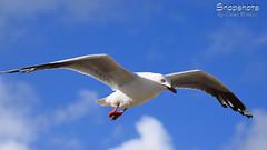 _DSC5326 (dawnbordin) Tags: sea hot bird beach birds head seagull gulls flight chips hungry lennox