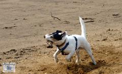 Jack-Russel-Terrier (Sport + Event) Tags: dog jack russel terrier hund 2015