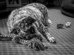 dog tired (severalsnakes) Tags: sleeping dog pet toys mutt mixed interior sony cybershot missouri rooster spotted sedalia wx350 saraspaedy