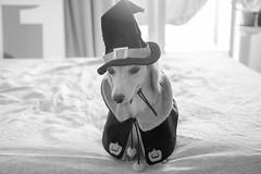 IMG_3249 (yukichinoko) Tags: dog halloween dachshund 犬 kinako ハロウィン ダックスフント ダックスフンド きなこ