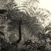Sepia Fern (b&w) (Morne Trois Pitons National Park, Dominica)