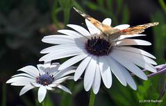 DSC_0124 (rachidH) Tags: flowers vanessa nature cosmopolitan blossoms egypt butterflies insects bee cairo papillon daisy blooms dame africandaisy cynthia paintedlady osteospermum vanessacardui blueeyeddaisy vanessedeschardons labelledame vanesse rachidh