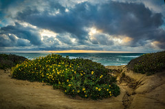 Wildflowers and Wild Sky (Fluid Light Images) Tags: ocean flowers sunset color beach nature yellow clouds landscape sandiego outdoor sony oceanbeach wildflowers sunsetcliffs pointloma a7r sel28f20