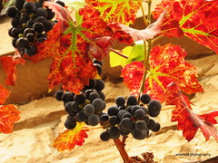 Weintrauben / Bunches of grapes (photomotivjger) Tags: autumn germany deutschland shoot herbst grapes bunches rheinland rhineland pfalz trauben rebe weintrauben palatinate