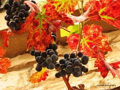 Weintrauben / Bunches of grapes (photomotivjger) Tags: autumn germany deutschland shoot herbst grapes bunches rheinland rhineland pfalz trauben rebe weintrauben palatinate