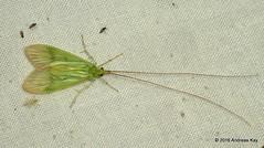 Caddisfly, Trichoptera (Ecuador Megadiverso) Tags: ecuador caddisfly mindo trichoptera reservariobravo
