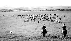 'Horizonte e tropa..' (Suzana Fernandes Fotografia) Tags: rio branco caballo grande do preto e campo cavalos gauchos tropa sul pampa horizonte vaca lida campanha boi tradio pecuaria gado tropeiros coxilhas tupanciret