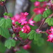 Ribes sanguineum (Red currant) flowers