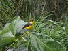 Myioborus torquatus (luvaduju09) Tags: birds costarica myioborustorquatus