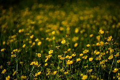 274:365 Field of Buttercups (Woodlands Photog) Tags: plant nature yellow spring woodlands texas roadside wildflower buttercups the