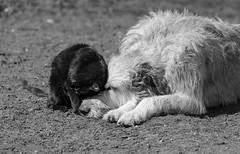 _F012774-2 (b.kunst17) Tags: bw dog pet cats pets white black dogs animal animals cat tiere nikon hund ii sw katze 28 70200 katzen haustier schwarz hunde vr tier haustiere weis d3s