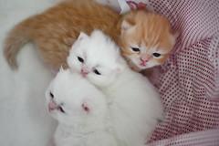 We are ready !!! (koolandgang) Tags: pet baby 3 animal cat three persian kitten kitty reis indoor threesome kedi babycat pisipisi irankedisi nikond700 kedici nikon105vrmicro