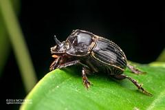 Dung beetle (Scarabaeidae) - DSC_8188 (nickybay) Tags: macro beetle basin malaysia sabah dung scarabaeidae maliau maliaubasin