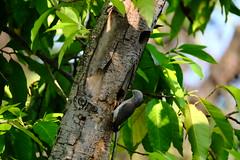 灰頭倞鳥,Sturnus malabaricus (隆大爺) Tags: tree bird 100400mm sturnus malabaricus 衛武營 倞鳥