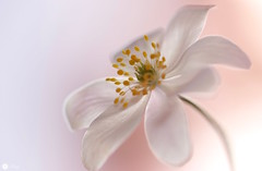 Simply Spring (Trayc99) Tags: new plant flower macro petals decorative pastel anemone bloom delicate floralart woodanemone beautyinnature flowerphotography beautyinmacro