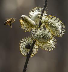 _DSC7101-Edit (doug.metcalfe1) Tags: plant ontario nature insect spring outdoor pussywillow 2016 mckenziemarsh nokiidaatrail