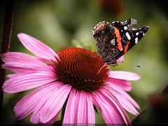 Resting Butterfly (Prima Vista) Tags: pink flowers red flower macro nature up field closeup brooklyn contrast butterfly garden close bokeh calm botanic serene hue depth