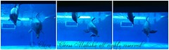 Father and Son (Clerss Malisha) Tags: family italy baby cute animal animals wonderful mammal underwater play view famiglia dolphin liguria north daughter mother genova dolphins vista mammals dauphin animali animale madre cucciolo delfino dauphins marinemammals cetaceo tierno delfini cetaceans cetacean figlio tursiopstruncatus figlia tenero sottacqua cucciola acquariodigenova cetacei ecolocation tursiope ecolocalizzazione nasobottiglia