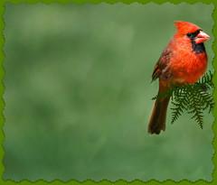 Gentleness and patience... (bankst) Tags: nature nikon birdseed cardinal malecardinal d5100