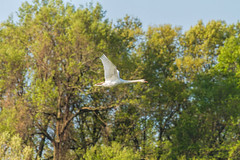 Mute Swan in flight (Mike Matney Photography) Tags: bird nature birds canon illinois swan midwest april muteswan edwardsville 2016 eos7d watershednaturecenter