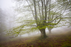 First leaves on the beeches (Jesus Bravo) Tags: misty fog forest spring mood country basque beech haya beeches hayedo
