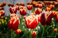 Tulips flowers in spring.  Beautiful bouquet of tulips. (Lucian Bolca) Tags: park pink blue red summer wallpaper sun sunlight white plant flower color green nature floral beautiful field grass yellow garden season leaf spring stem flora colorful day tulips natural bright blossom vibrant background picture meadow sunny fresh petal tulip bloom bouquet elegant multicolored wildflower idyllic shining isolated freshness springtime blooming