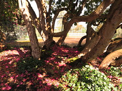 Petals (Greenway) (srjm) Tags: petals trunks nationaltrust twisted greenway