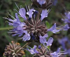 Tiny Purple Flowers - Substitute For Purple Rain (Robb Wilson) Tags: losangeles prince downtownla springtime purplerain purpleflowers grandpark