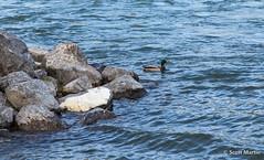 Mallard in Rough Waters (Scott Martin Calgary) Tags: ca canada calgary animals ducks alberta bowriver fishcreekprovincialpark sikomelake